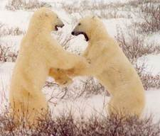 Polarbearfight_2